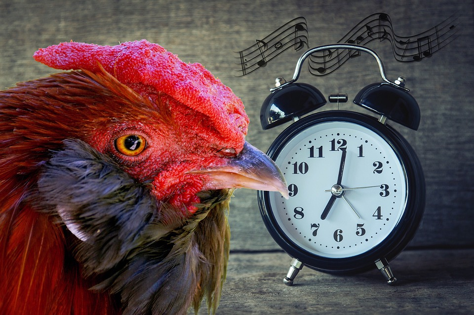 A rooster and a singing alarm clock